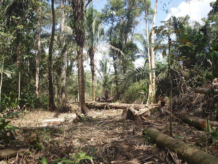 Ocupantes ilegales de la Reserva Forestal Caparo podrían ser reubicados, según Minea