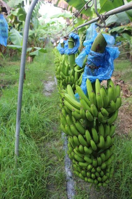 Amenazadas plantaciones de cambur en los valles del estado Aragua