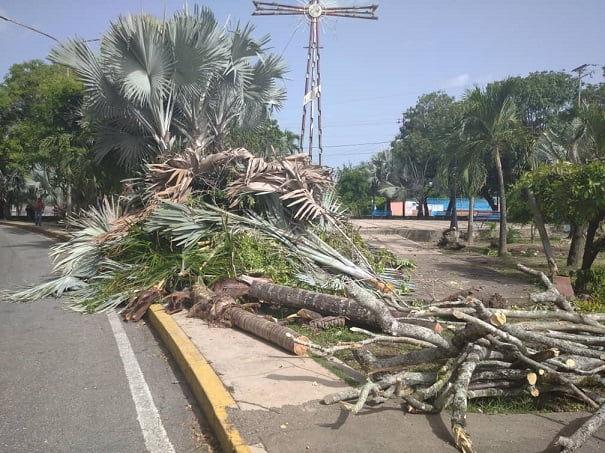 Ambientalistas rechazan tala de árboles y palmas en plaza La Cruz de Sarare